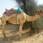 camel safari desert india 1