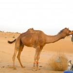 camel safari desert india 12