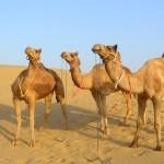camel safari desert india 17