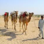 camel safari desert india 2