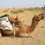 camel safari desert india 24