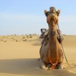 camel safari desert india 9