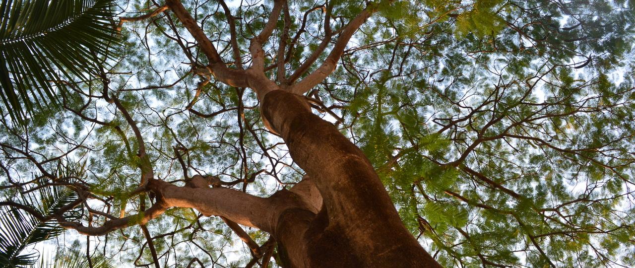 copacul dorintelor